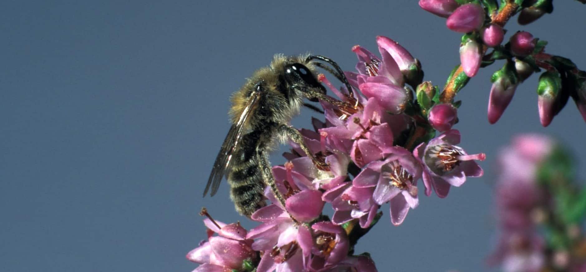 Bijna twee keer zoveel bijensoorten in het Hulshorsterzand