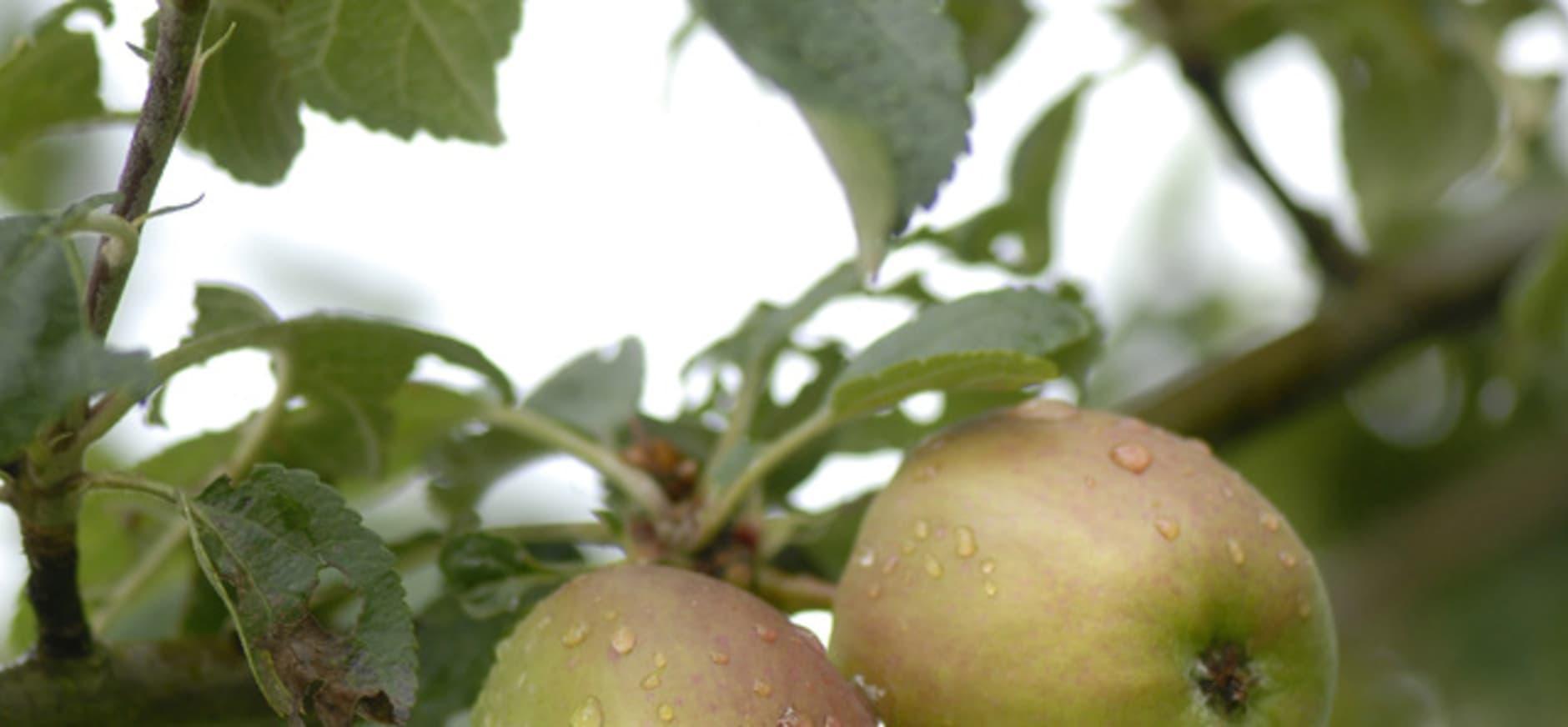 Appels plukken en zelf appelmoes maken