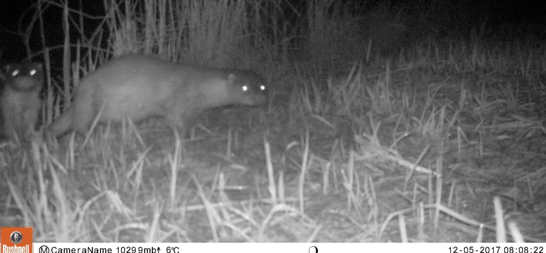 """""""Cameraval' registreert bijzondere diersoorten in De Wieden"""