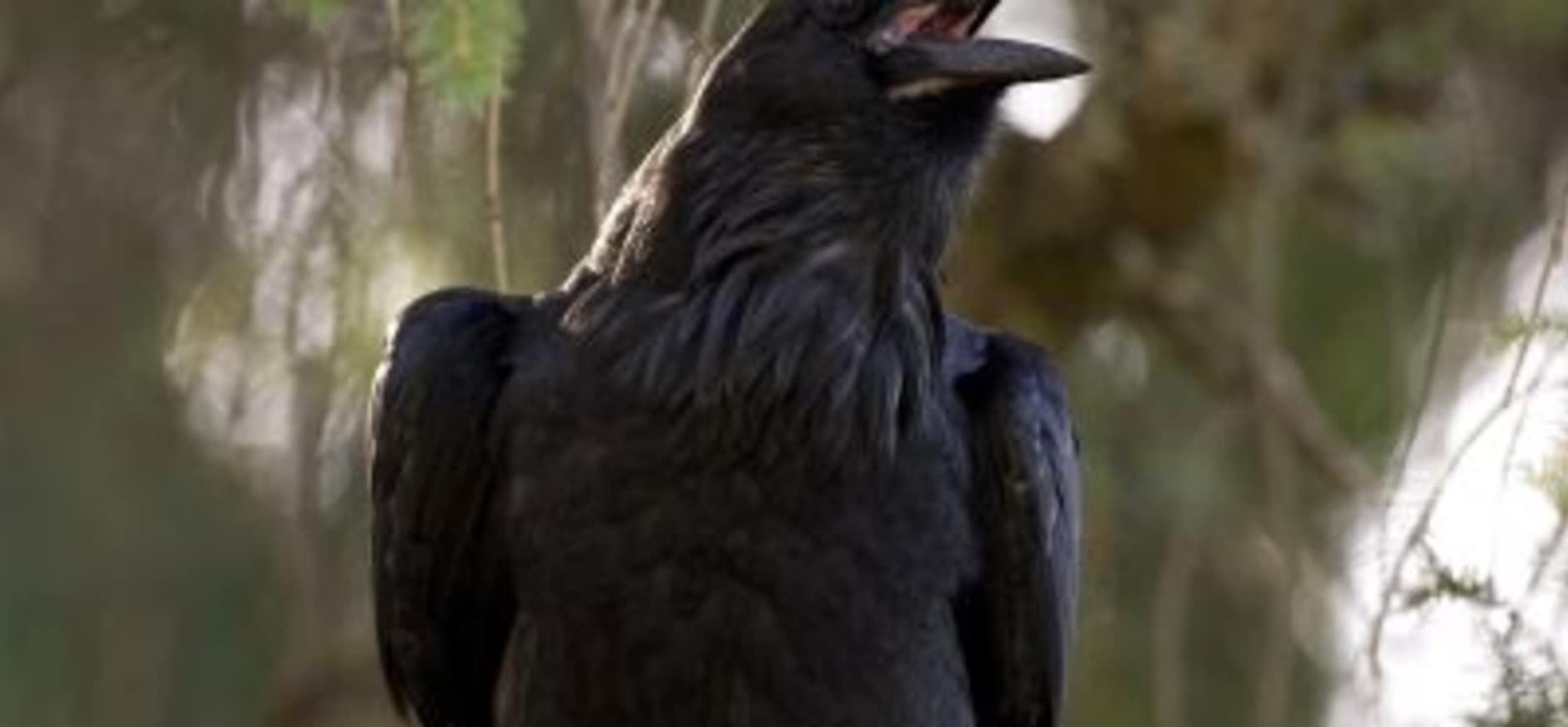 Raven aan het broeden in Loonse en Drunense Duinen