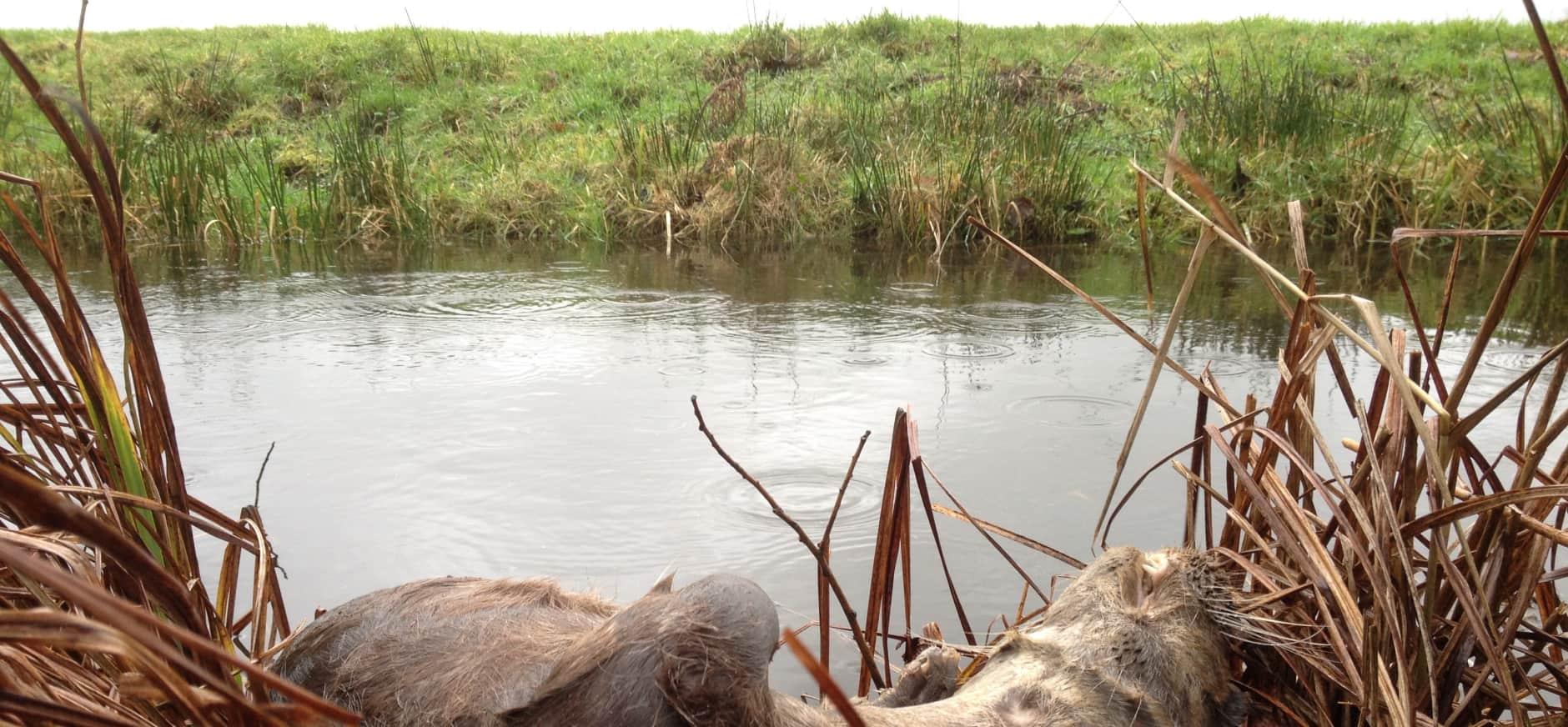Dode otter gevonden bij de Nieuwkoopse Plassen