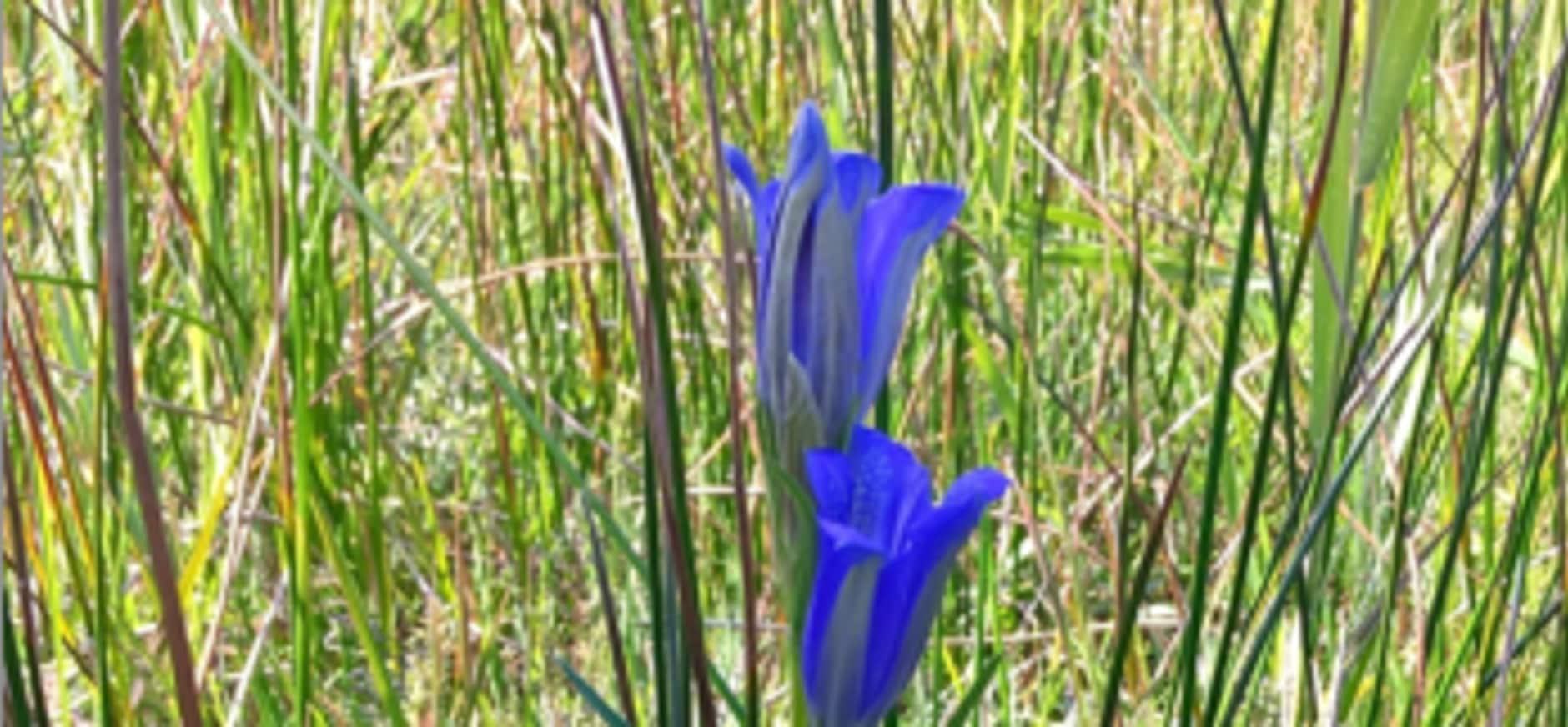 De Klokjesgentiaan, hemelsblauwe pracht in De Wieden