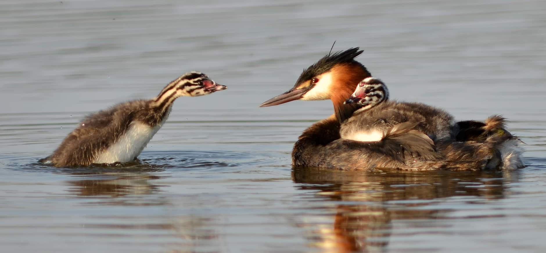 Minder watervogels, maar wel meer nachtzwaluwen op Kampina