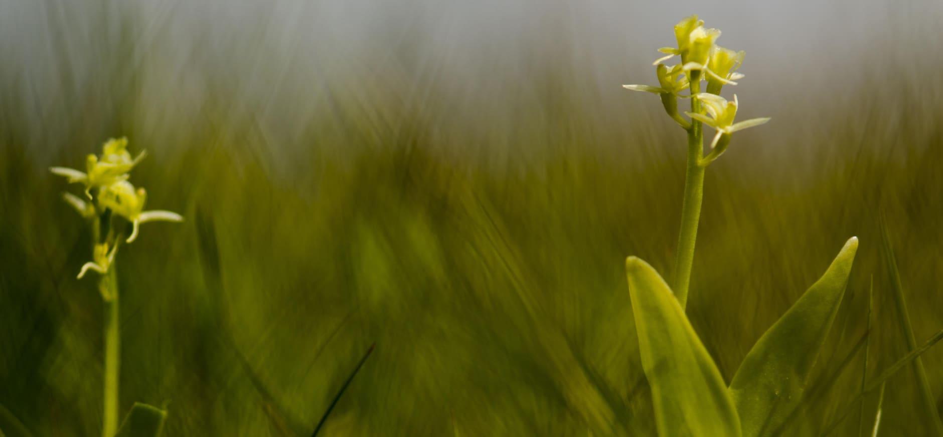 Orchideeën en vleesetende planten profiteren van LIFE-werkzaamheden in de Nieuwkoopse Plassen