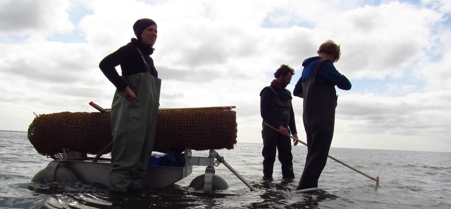 Nieuw zeegras gezaaid tussen Griend en Terschelling