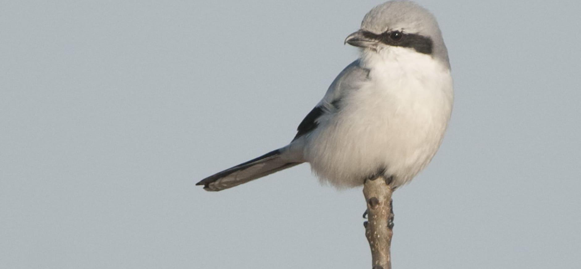 Klapekster overwintert in de Nederlandse natuur