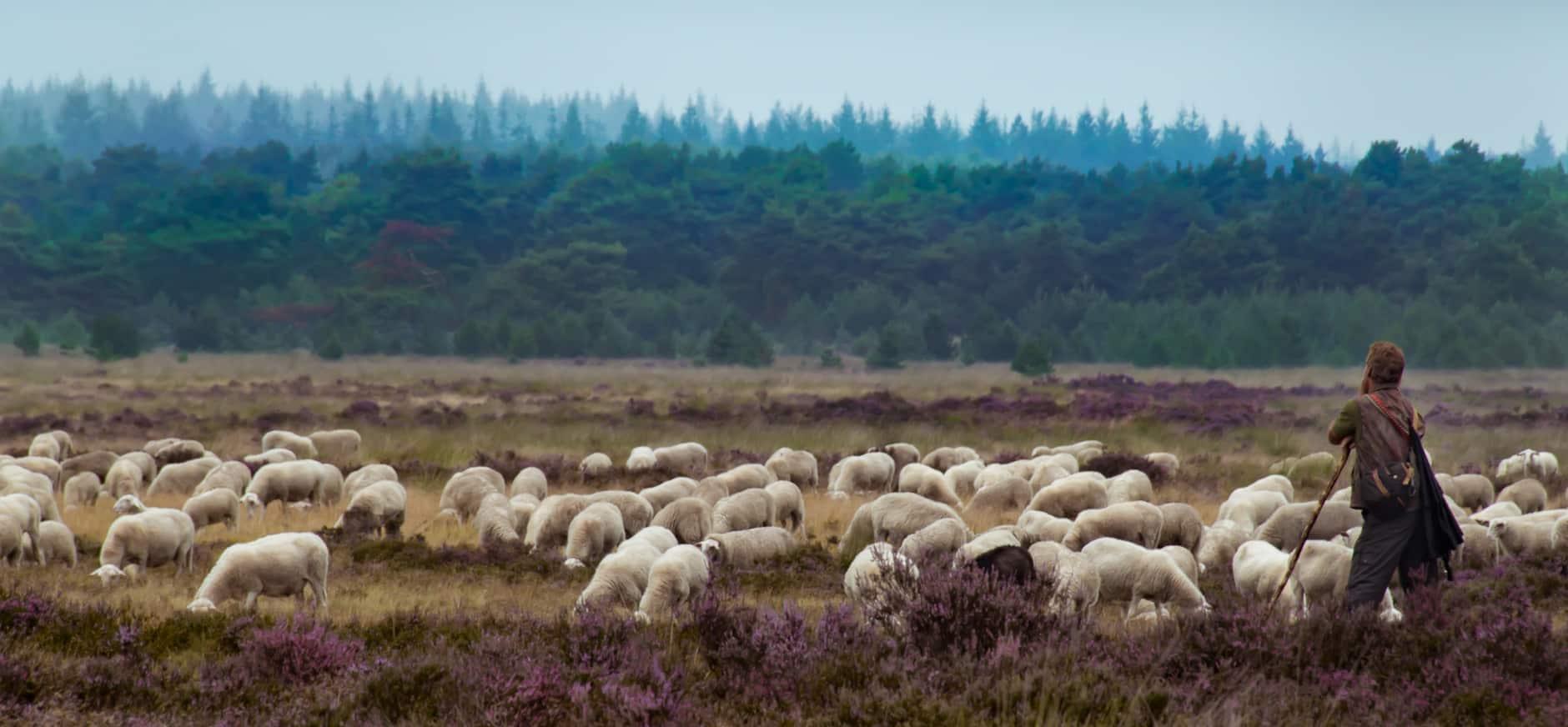 Kampina krijgt nieuwe schaapskudde met herder