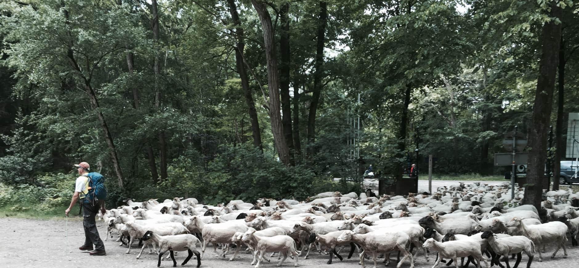Ontmoet de schaapskudde en herder op de Mookerheide
