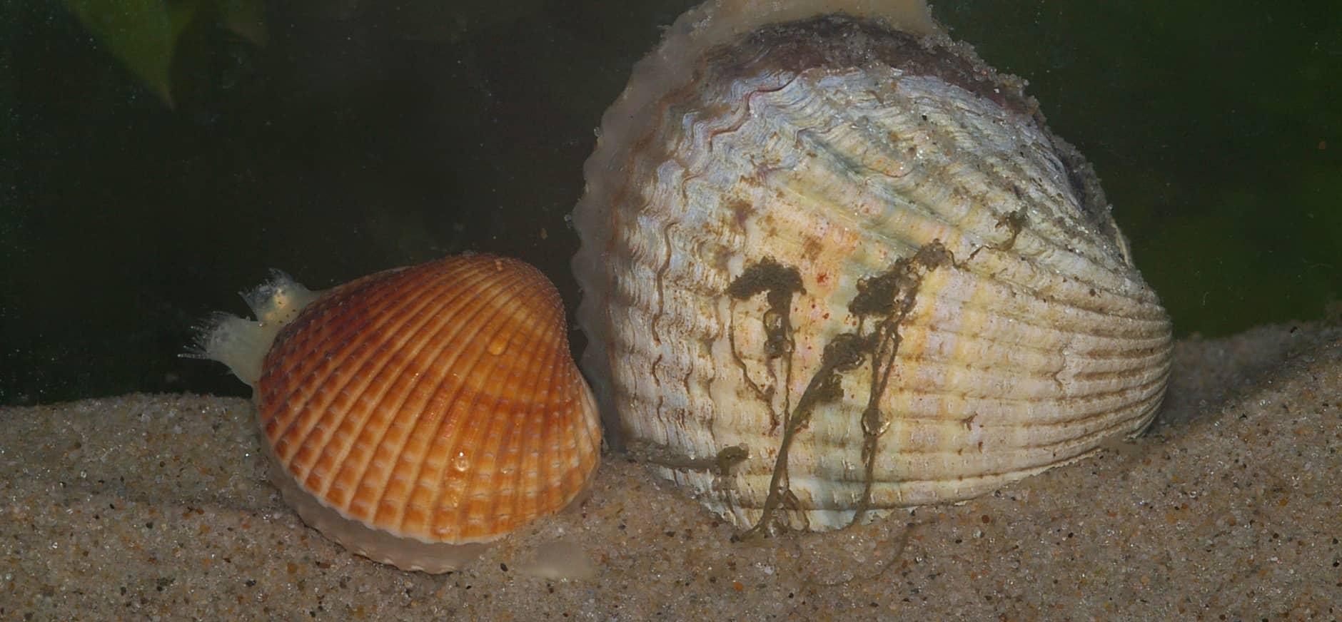 Record aan meerjarige kokkels in de Waddenzee