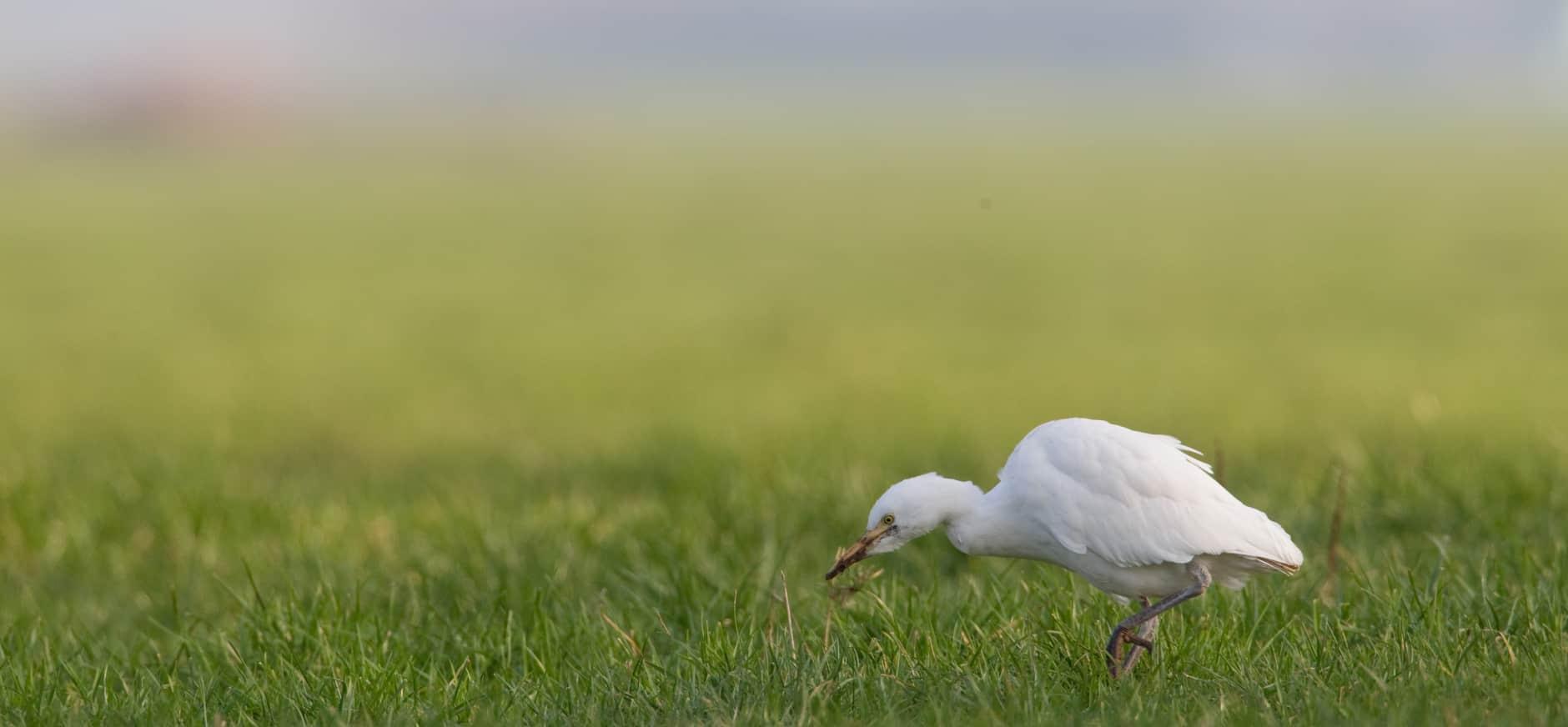 Zeldzame koereigers rondom het Naardermeer