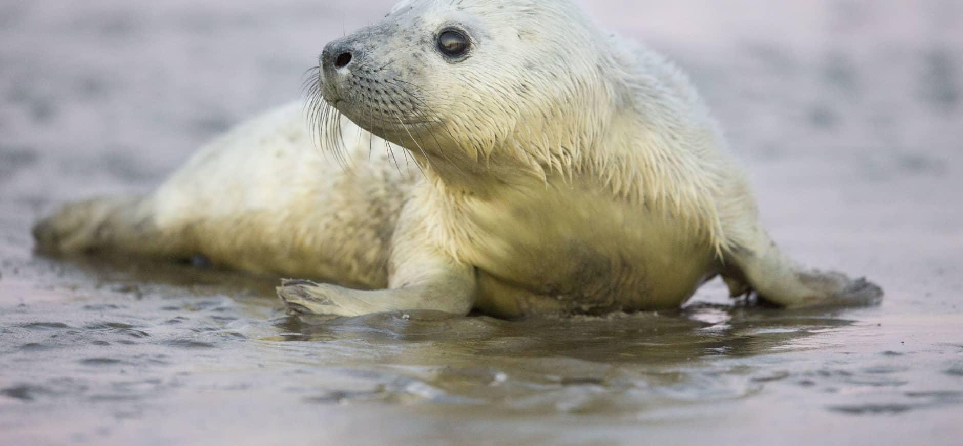 Jonge zeehondjes op waddeneiland Griend geboren