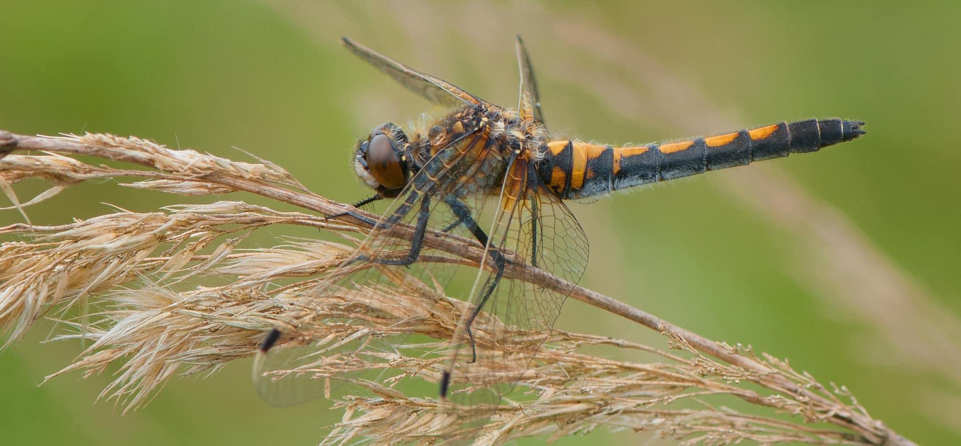Zeldzame libellen ontdekt op nieuwe plekken in Flevoland