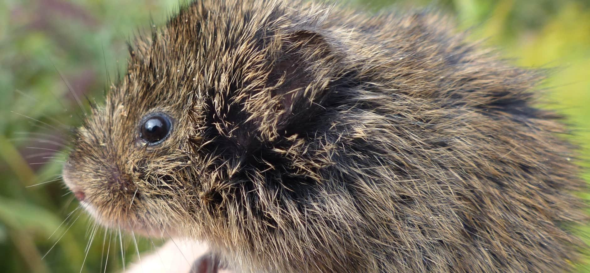 Zeldzame Noordse woelmuis breidt zijn leefgebied uit op Tiengemeten