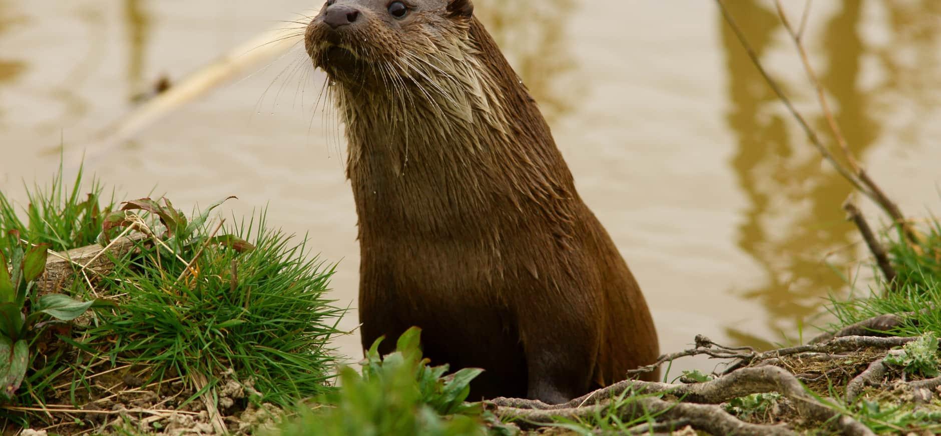 Na 40 jaar weer otters geboren in Zuid-Holland