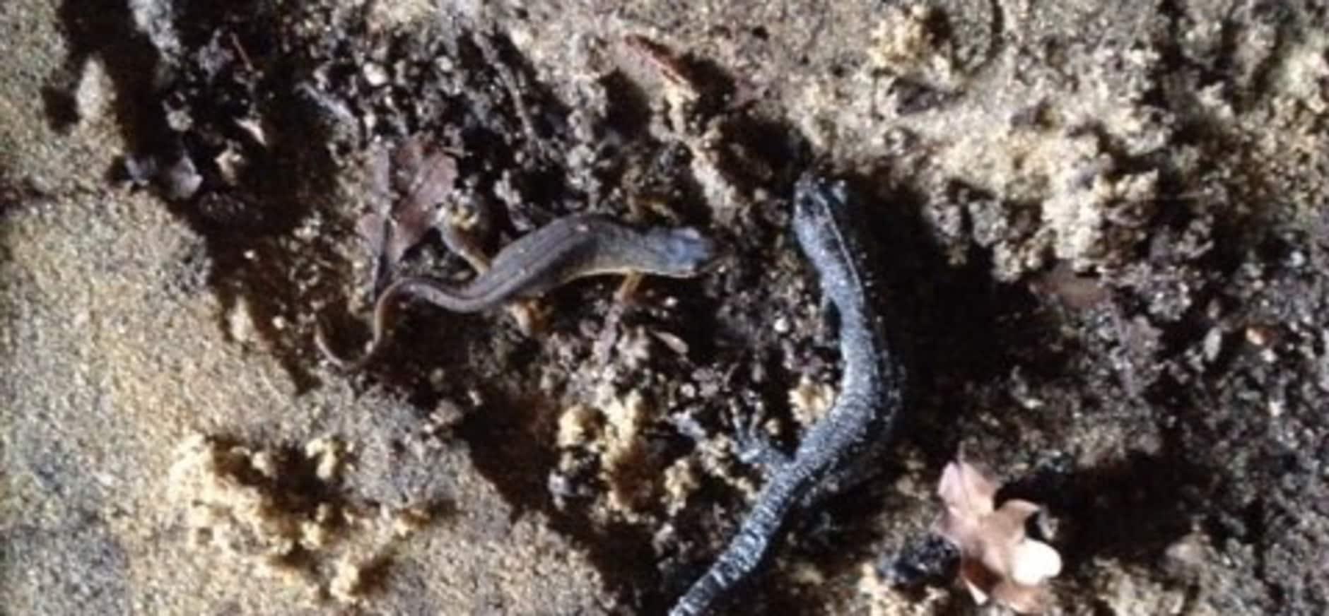 Twentse salamanders in winterslaap