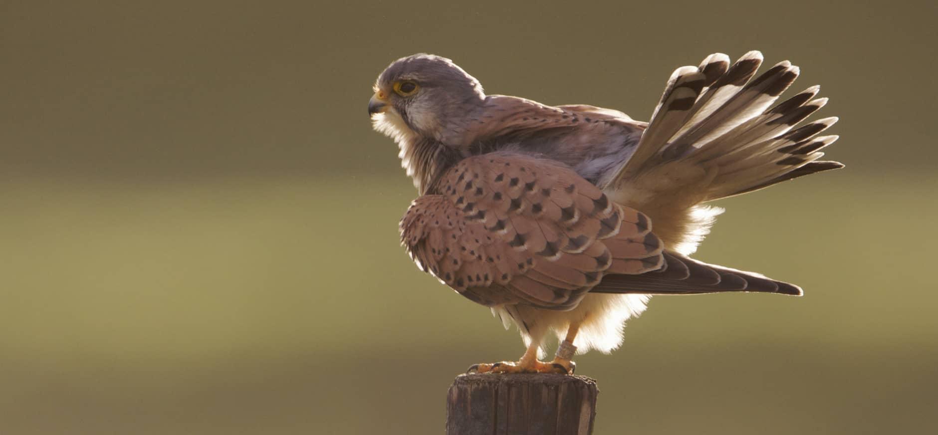 Midden-Delfland, een roofvogelparadijs bij de stad