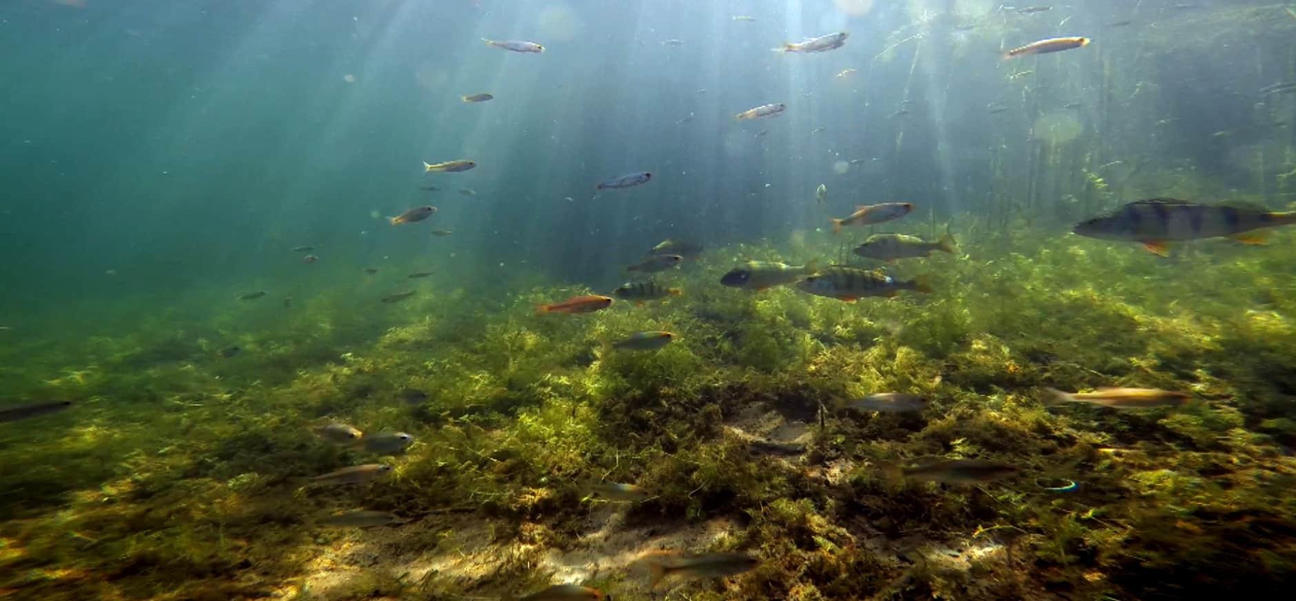 Verrassende Nederlandse onderwaternatuur in 'Wildernis onder water'