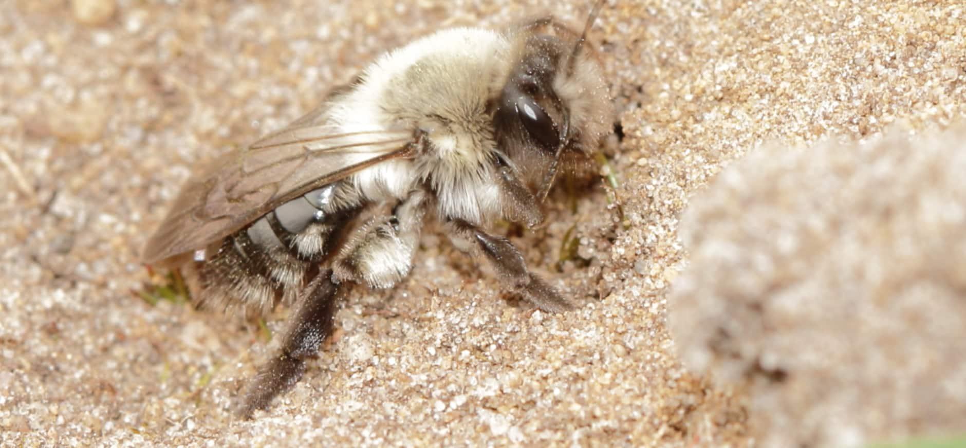 Vrij zeldzame grijze zandbij weer actief op Oldenaller