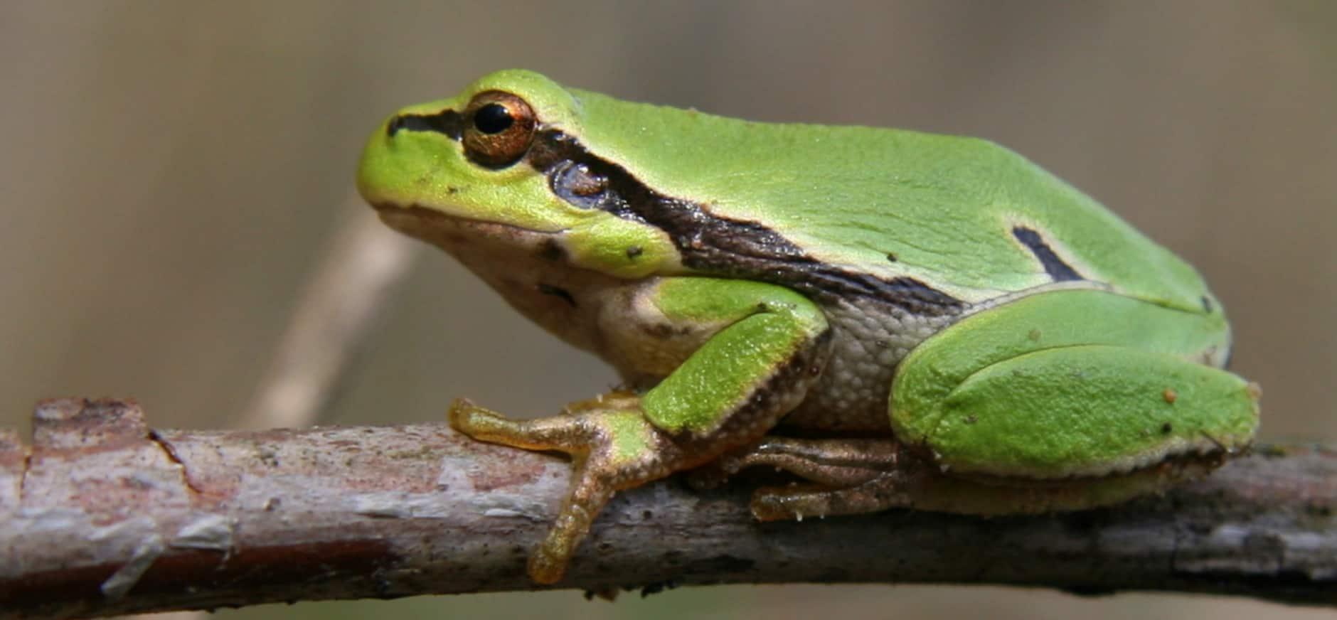 Boomkikker voor het eerst waargenomen op Kampina