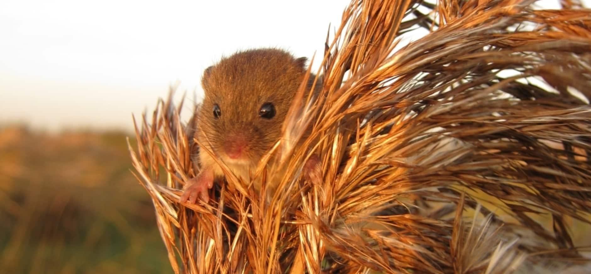 Nieuwkoopse Plassen weer veilig voor dwergmuis