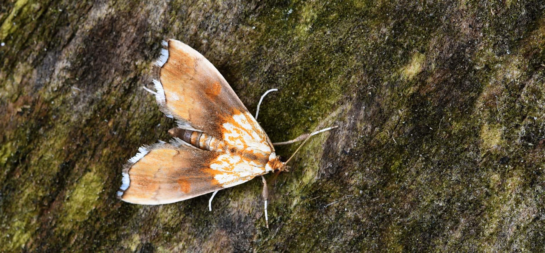 Zeldzame nachtvlinders ontdekt in Twente