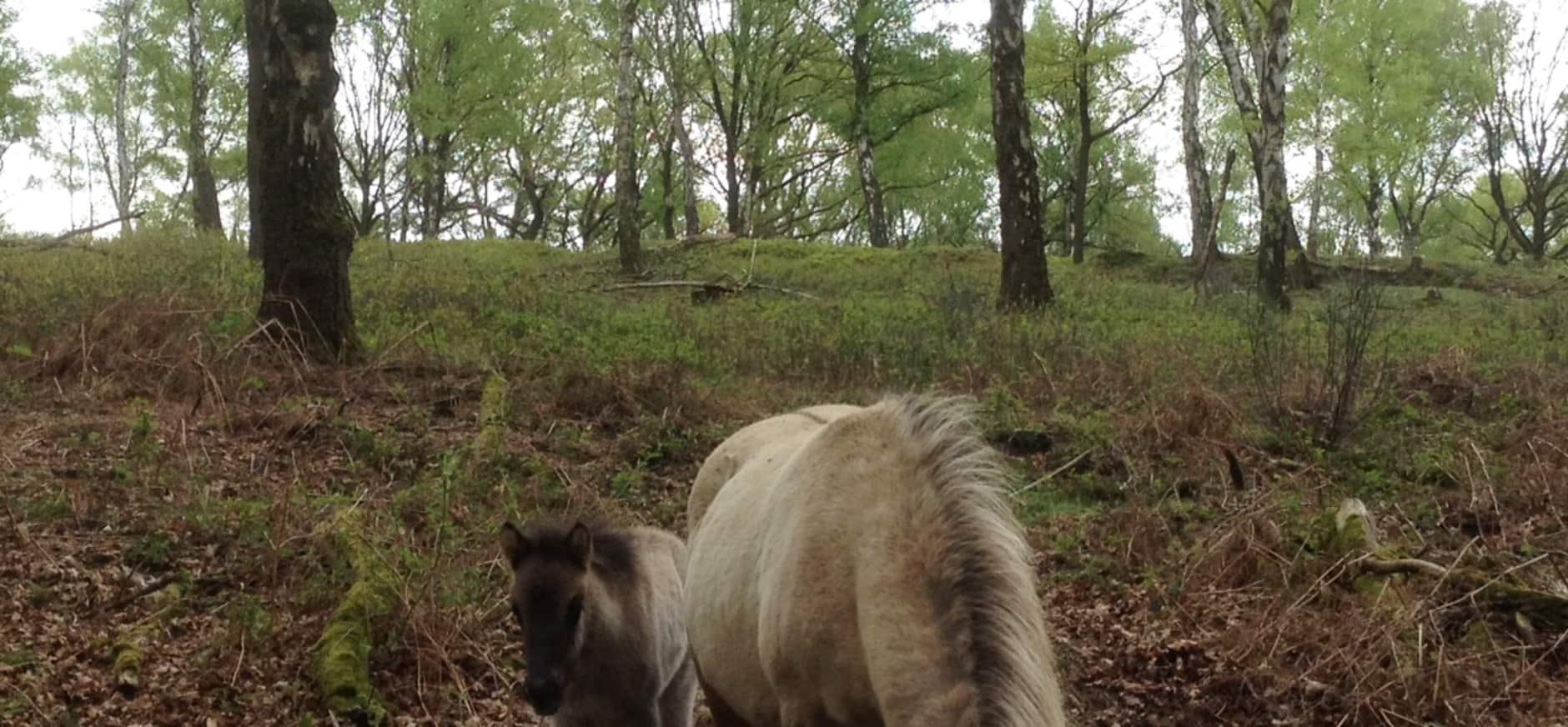 Hengstje geboren in Nationaal Park Veluwezoom