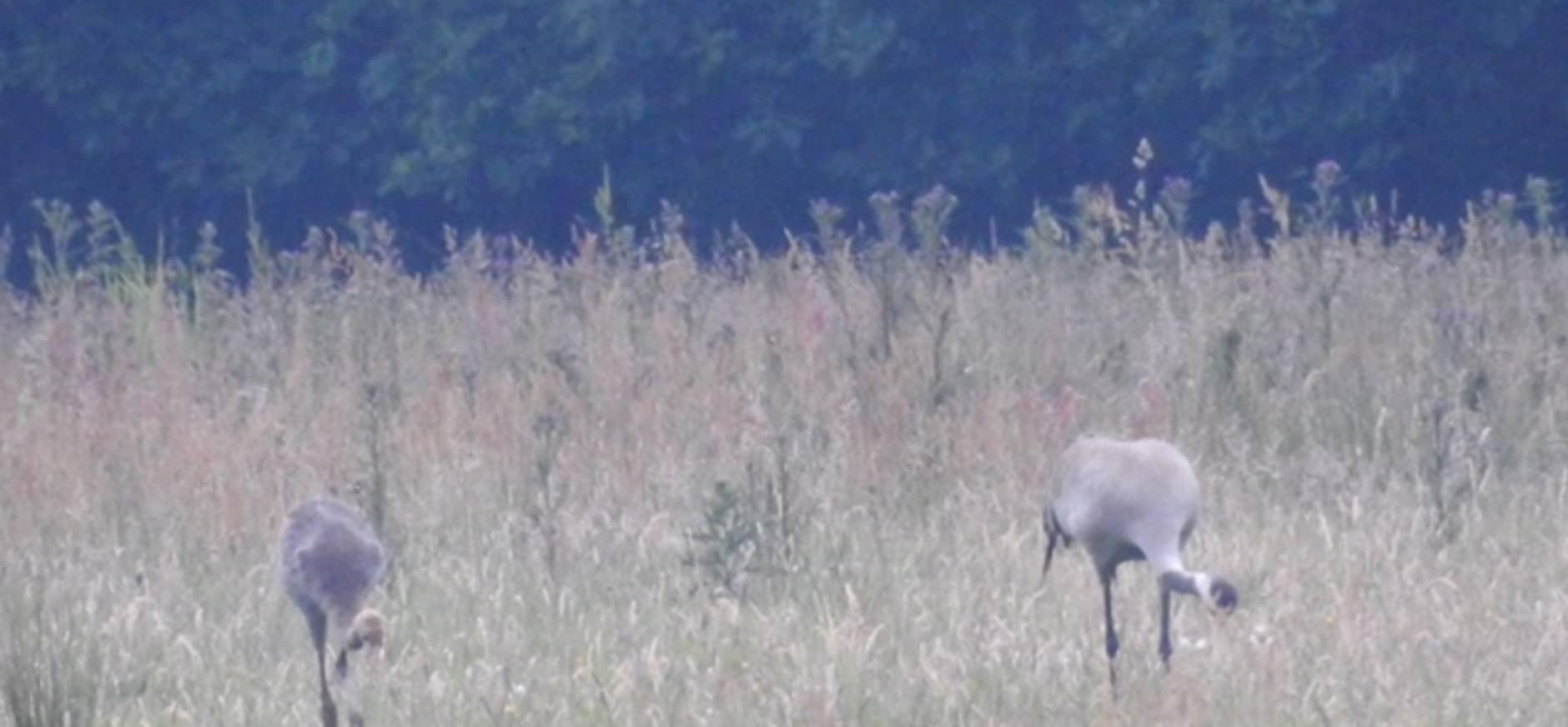 Kraanvogeljongen vliegen uit in het Korenburgerveen
