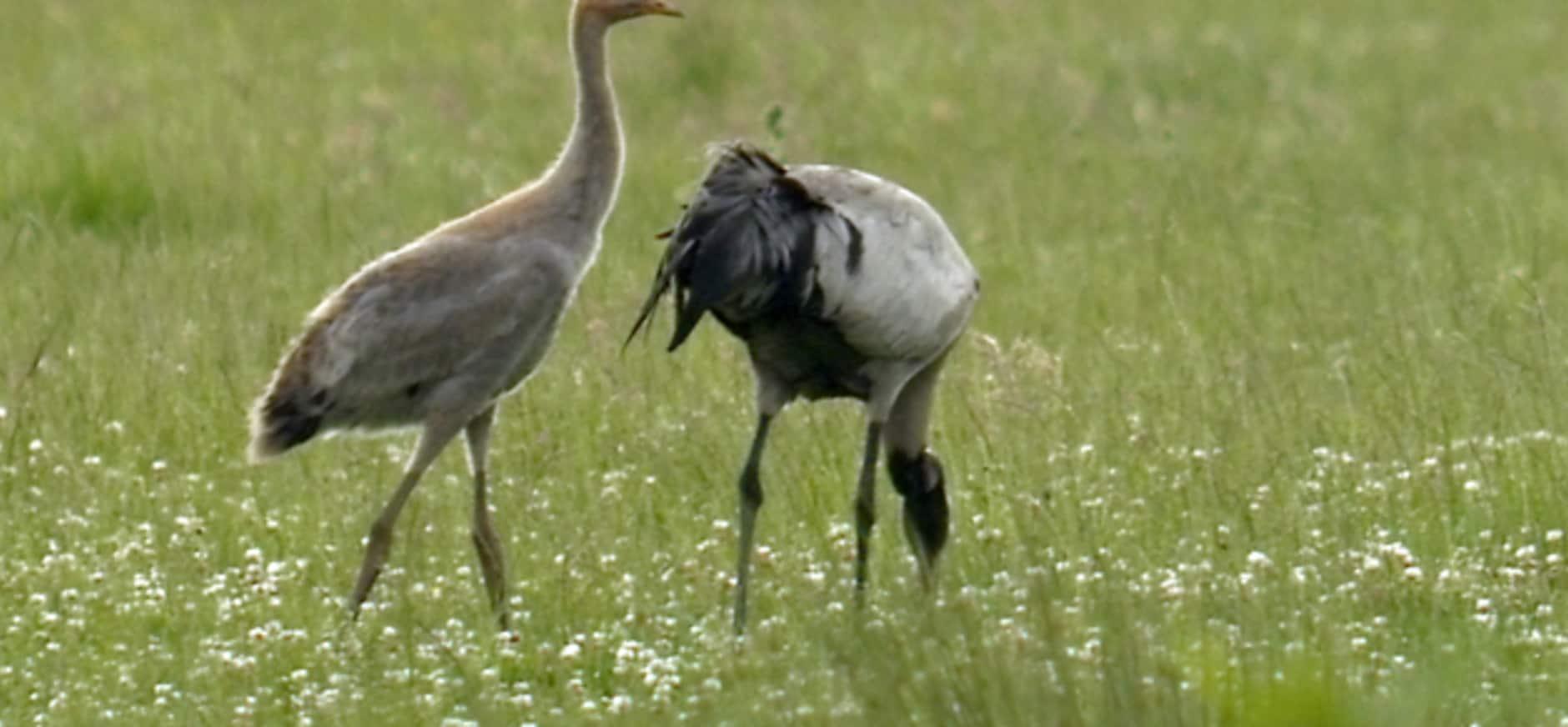 Boswachter ziet jonge kraanvogel Korenburgerveen
