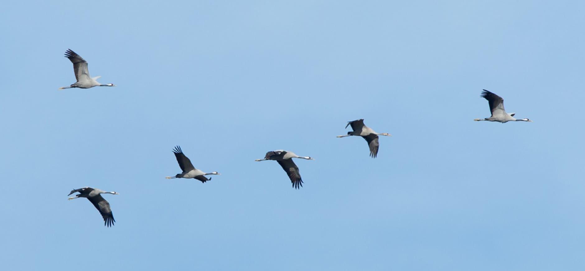 Kraanvogels overnachten in Naardermeer