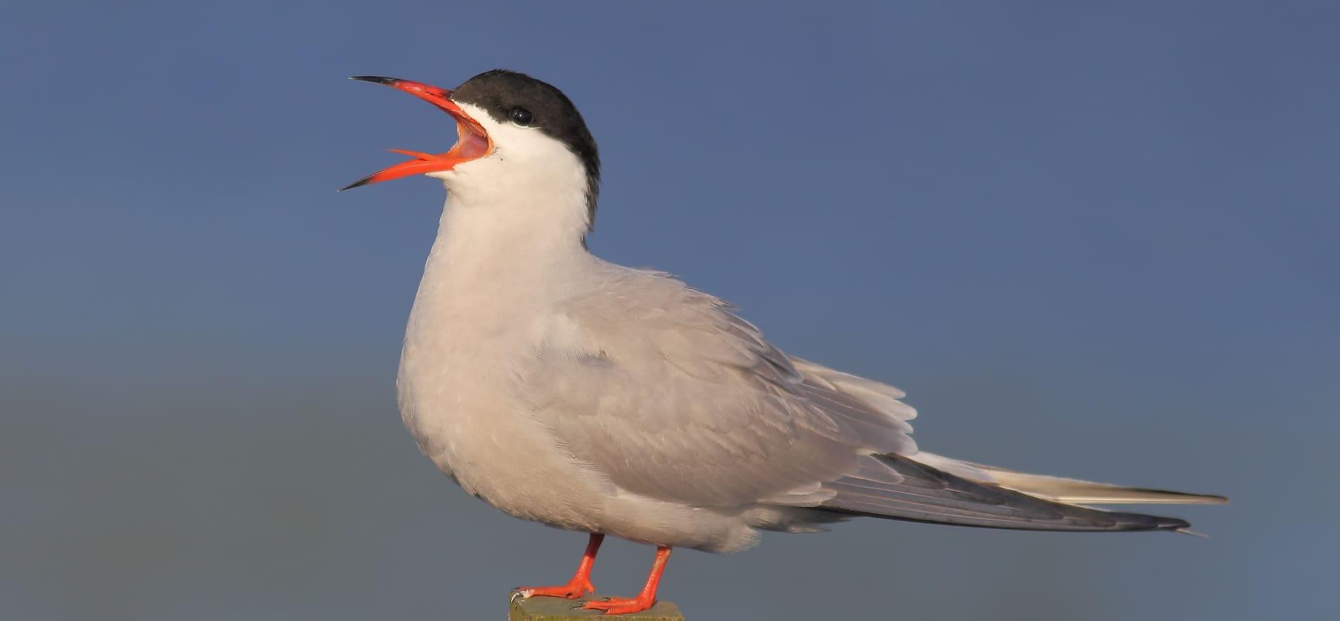 Vogels Haringvliet snakken naar 'de Kier'