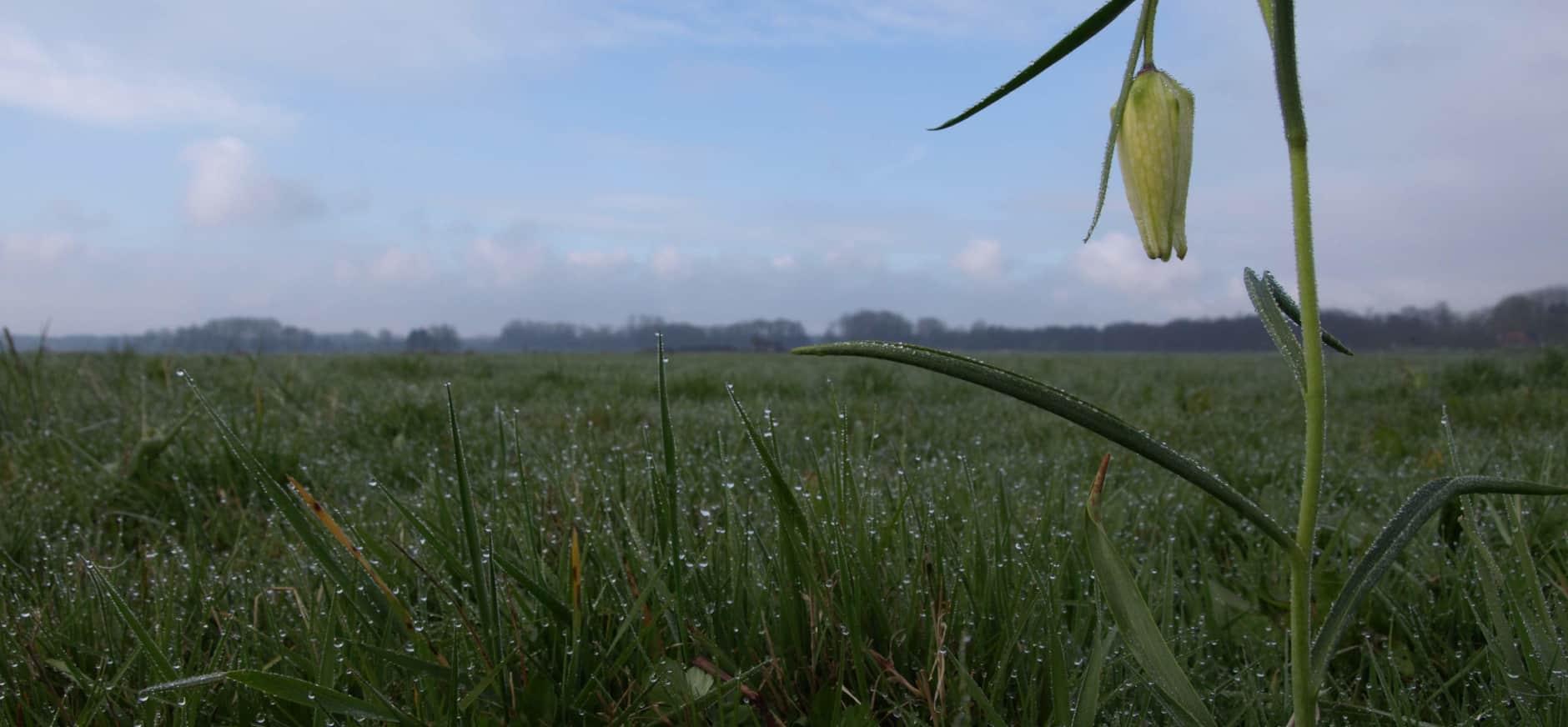 Eén van de laatste wilde witte kievitsbloemen in Oosterland