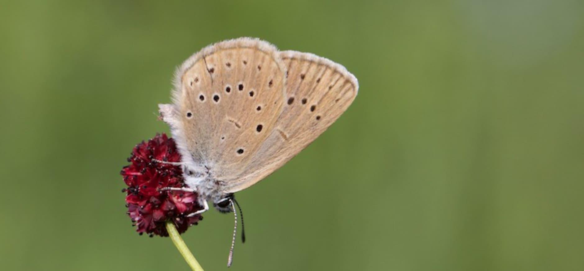 Pimpernelblauwtje
