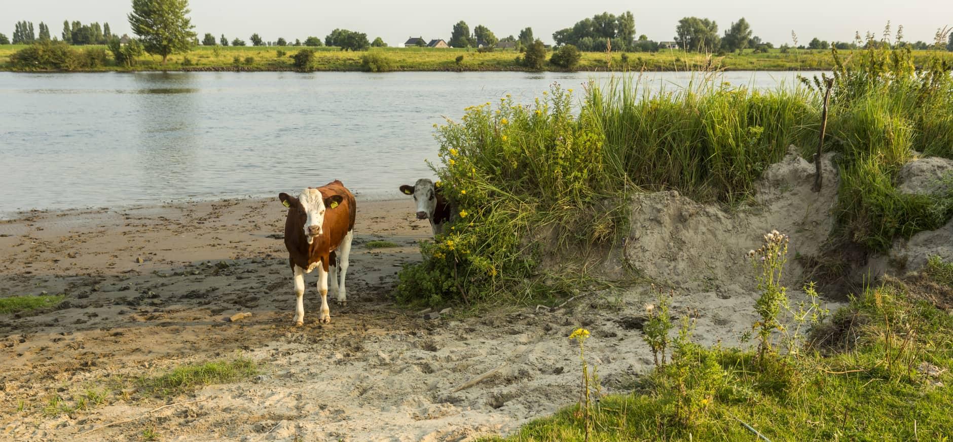 Runderen in de uiterwaard langs de Maas