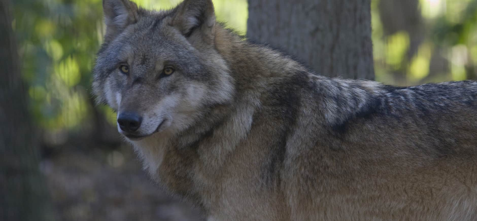 De Wolf