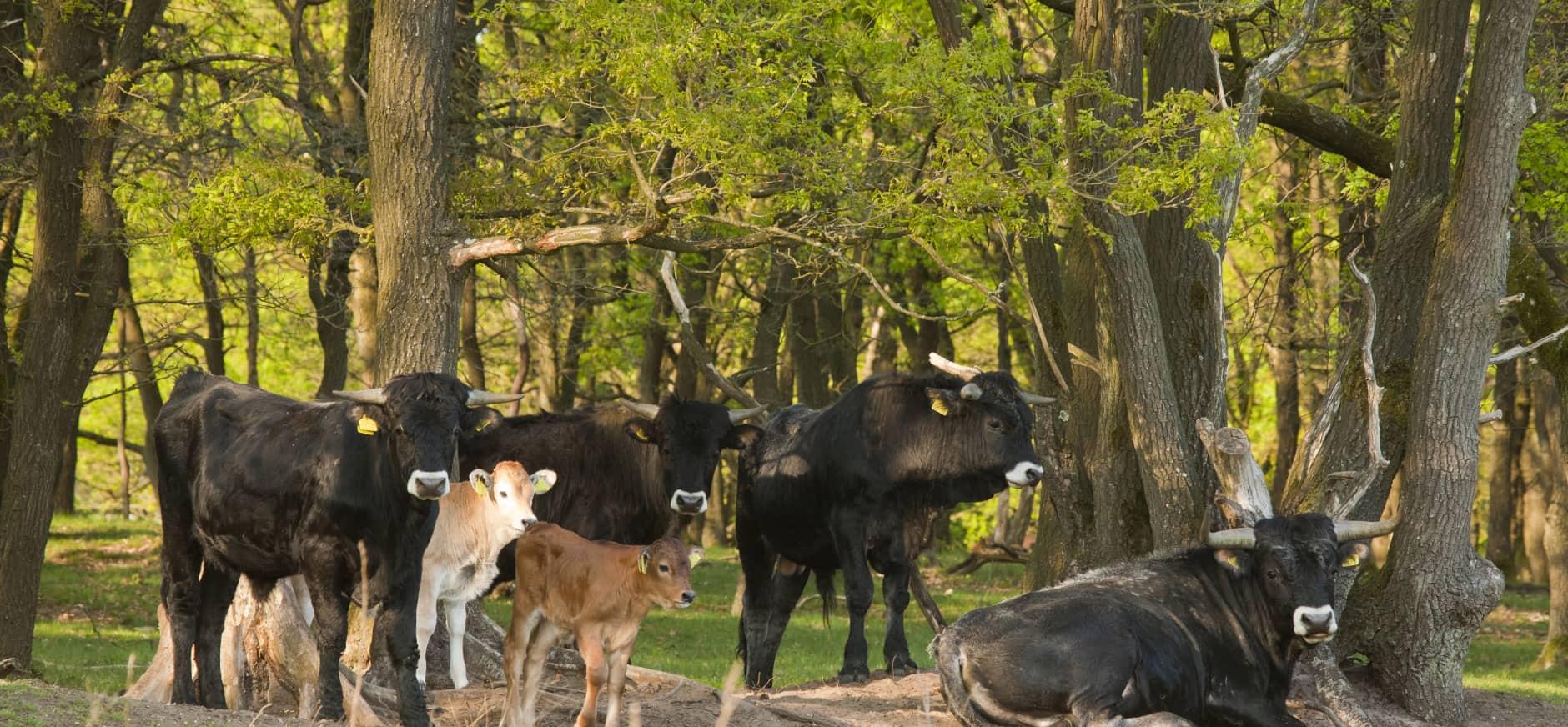 Spaanse runderen met kalfjes tegen bosrand