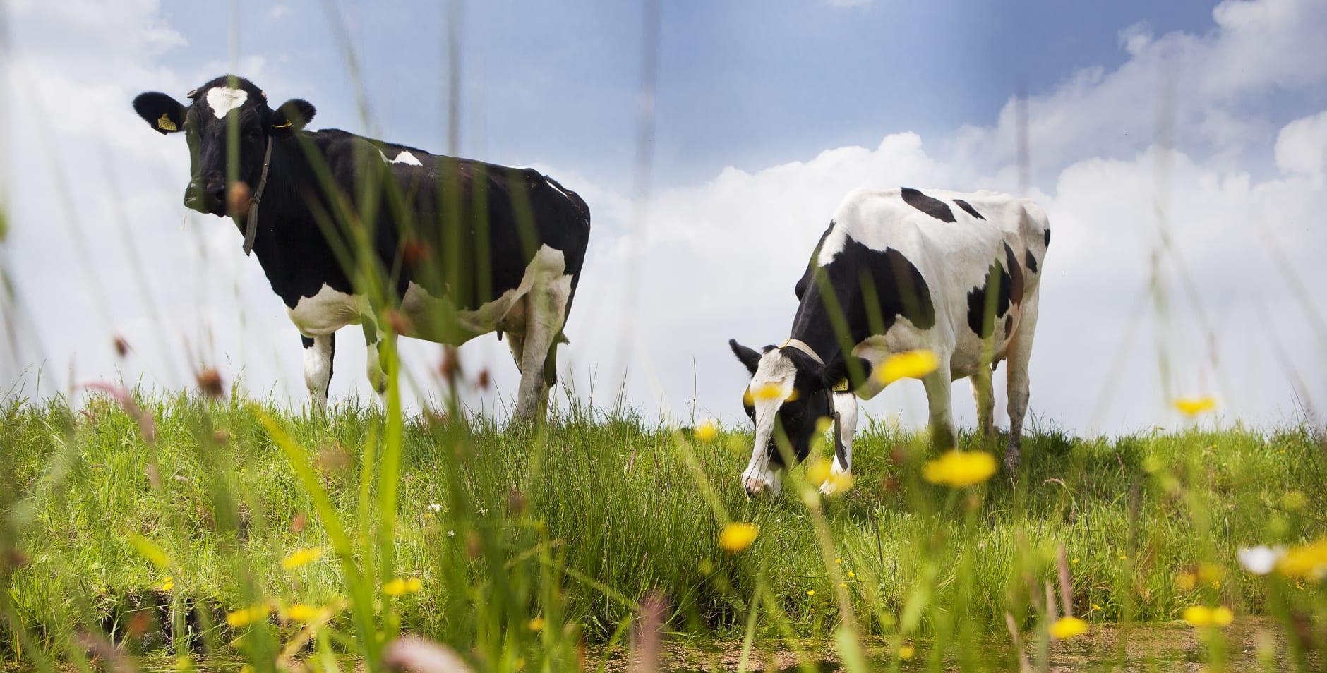 koeien in het voorjaar