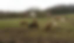 IJslandse paarden - Veluwezoom