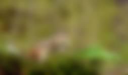 Siberische grondeekhoorn ruikt aan de lelietjes van dalen