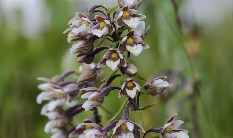 Speurtocht orchideeen Duinen van Goeree