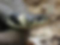 Waarneemactie Reptielen Veluwezoom: meer ringslangen gespot
