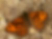 Argusvlinder Lasiommata Deze vlinder wordt steeds minder gezien