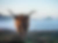 Schotse-Hooglander-NAMO70924.jpg