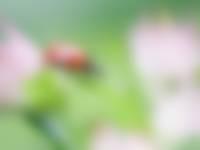 Lieveheersbeestje insecten in je tuin