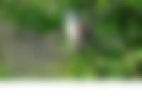 Grauwe klauwier in Duin en Kruidberg