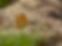 Kleine parelmoervlinder op de Kampina