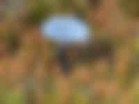 blauwgroen trechtertje, ron poot