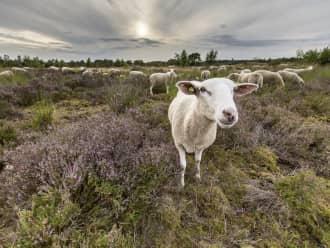 Ontmoet de herder in de Loonse en Drunense Duinen