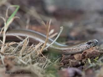 Hazelworm gezien bij de Liskes in Bergeijk
