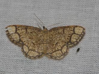 Zeldzame zoomvlekspanner gevonden op de Brunssummerheide