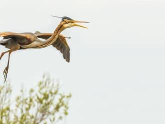 Purperreiger Naardermeer vliegend